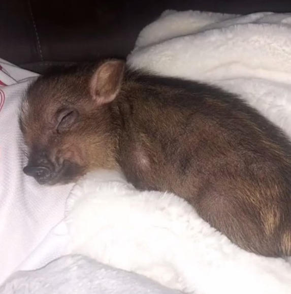 Ariana Grande and Pete Davidson's pet micro pig Piggy Smallz